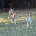 Some of the Fallow Deer that live there.
