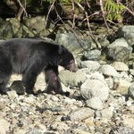 black bear (from the bear watching tour)
