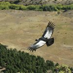  An Andean condor glides over the fields