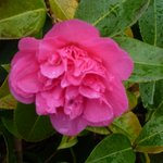 beautiful camelia