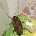 COCKROACH