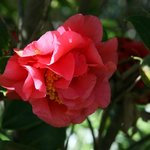 Beautiful camellias...