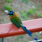  Blue-crowned motmot that hung around the area.