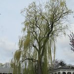  Weeping Willow by the gazebo.