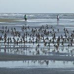  Shore birds on beach in front of Shilo Resort hotel