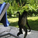 A monkey walking by the pool