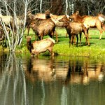  Elk getting a drink from our lake
