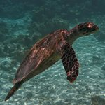  Turtle surfacing from outer reef
