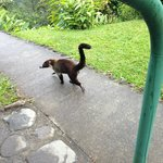 coati near our back door