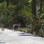 a racoon on its way into the bush