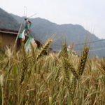 Agriculture at rishikesh valley