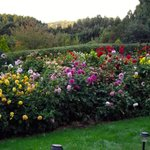 Dahlia Gardens, at sunrise, April 13