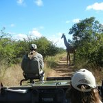  tracker on the front of the vehicle; giraffe crossing