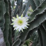 Tree size cactus & blooms the size of dinner plates!