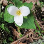 ... and the trilliums bloom and spring is official.  April 2013
