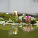Water Lillies in the Great Karoo setting