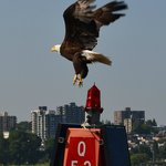 Eagle in Vancouver harbour