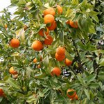  One of the orange trees in the garden
