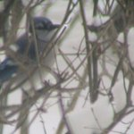  A blue jay sits outside the Willard Suite in winter