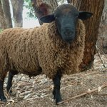 Our Dorper sheep