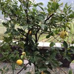 its exposition  to sun allow lemon to grow