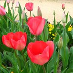 Tulips at the park next door