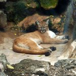 Florida Panther at the zoo