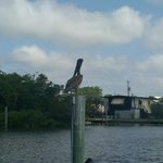 Pelican viewing from dock