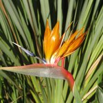 strelitzia flower on grounds