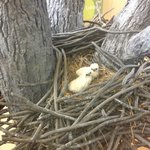 Fake nesting eagles at the Ottawa Refuge- down the road