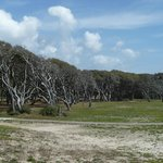  Trees bent at Fort Fisher