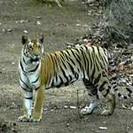 Tiger at Pench
