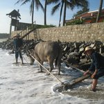  Resident water buffalo that rakes the beach daily