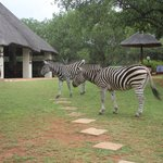 Friendly Zebras in the back yard