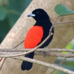  Male Passerin Tanager