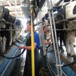 Michael & James milking the cows