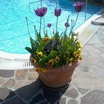  Tulipani a bordo piscina