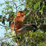 Probiscus monkey in a tree