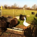  Our small herd of Hebridean sheep