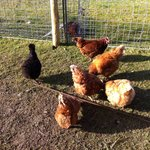  Free range chickens