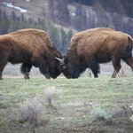  Bisons