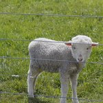 Tiny the lamb next door at farm