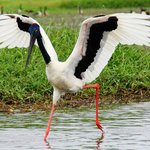  Jabiru