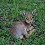  Baby dik dik resting
