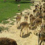 herds of deer