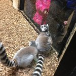 momma &amp; baby lemur