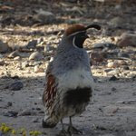  Quail seen in neighborhoods