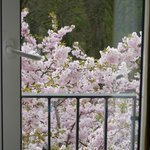 Cherry blossom in full bloom outside the window, sooo beautiful