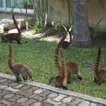 coati a spasso (http://it.wikipedia.org/wiki/Coati)