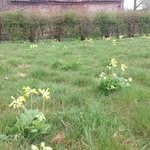 Cowslips in the wild flower meadow in the Spring